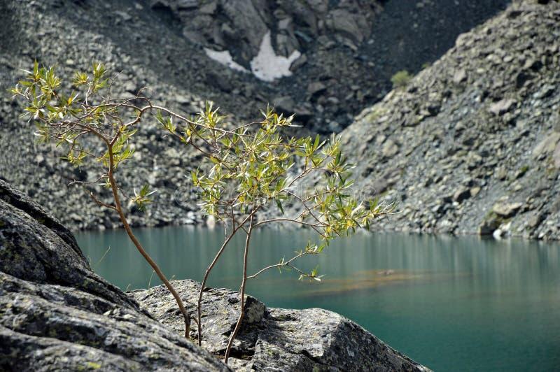 Baum am Gebirgssee stockfotos