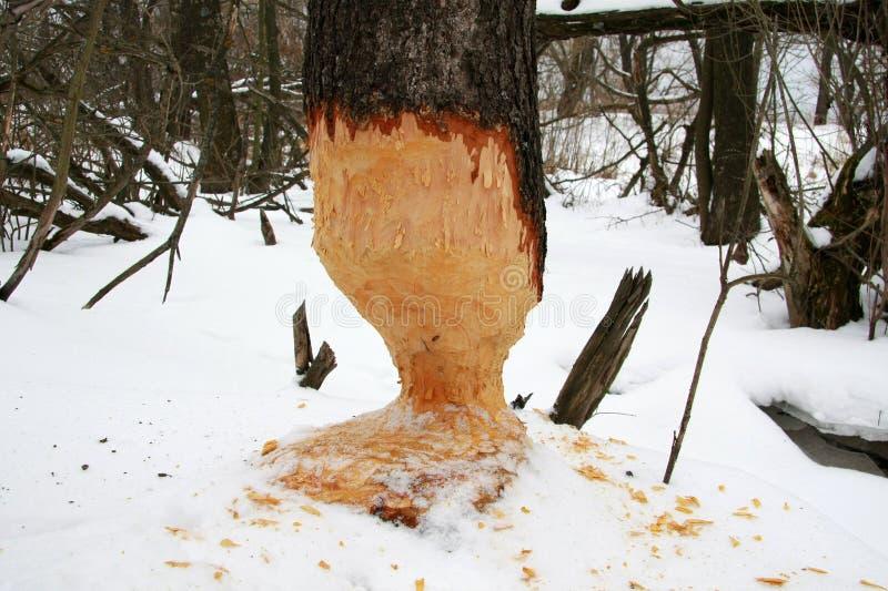 Baum gegessen durch Biber lizenzfreie stockfotos