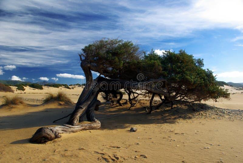 Baum gekurvt durch den Wind stockbilder