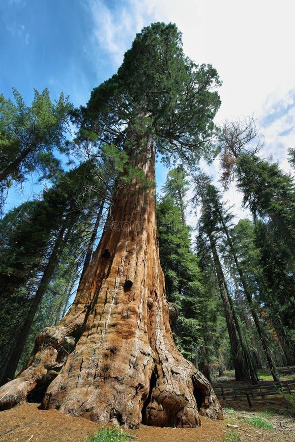 Baum Generals Sherman im riesigen Wald des Mammutbaum-Nationalparks stockbilder