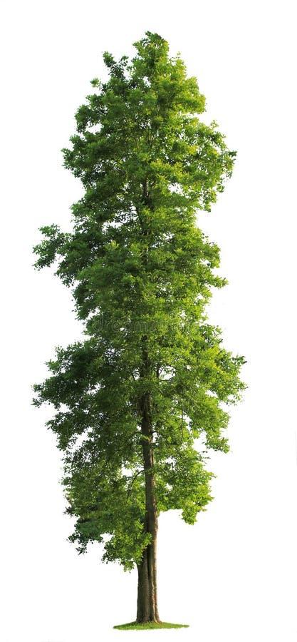 Baum getrennt lizenzfreies stockbild