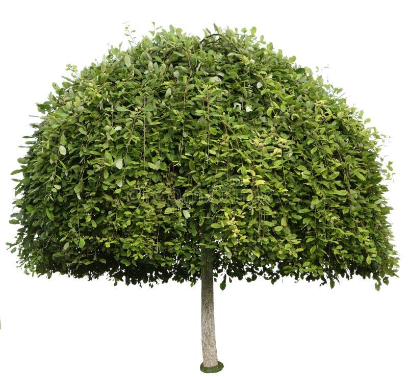 Baum getrennt lizenzfreies stockfoto