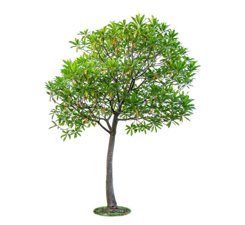 Baum getrennt auf weißem Hintergrund Schöne und robuste Bäume AR stockbilder