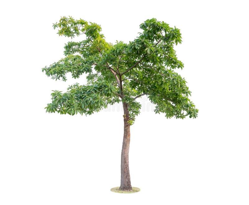 Baum getrennt auf weißem Hintergrund Schöne und robuste Bäume AR lizenzfreies stockfoto