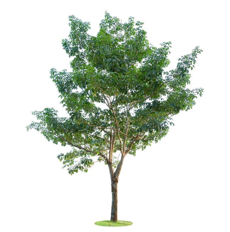 Baum getrennt auf weißem Hintergrund Schöne und robuste Bäume wachsen im Wald, im Garten oder im Park stockfotografie