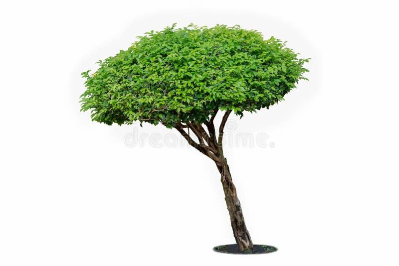 Baum getrennt auf weißem Hintergrund Sein Strauch wird in einem Topf O gewachsen lizenzfreies stockbild