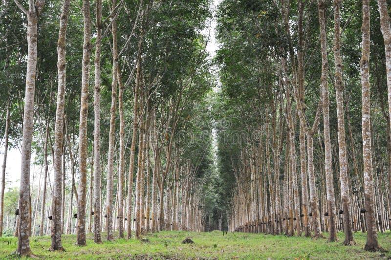 Baum-Gummigarten-Zeile lizenzfreies stockfoto
