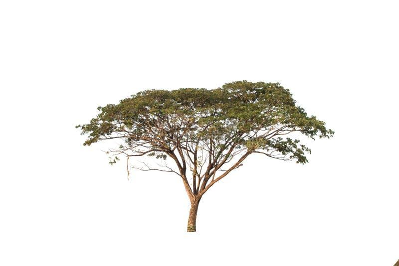 Baum im Garten lokalisiert auf wei?em Hintergrund lizenzfreie stockfotos