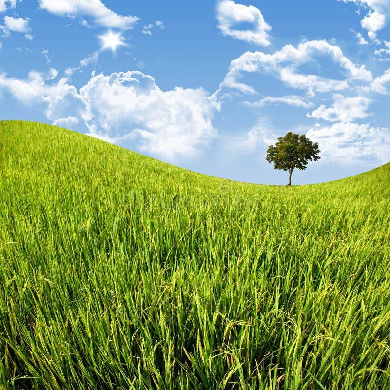 Baum im Getreidefeld mit blauem Himmel lizenzfreies stockfoto