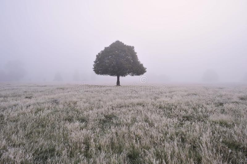 Baum im Nebel Richmond Park London stockbilder