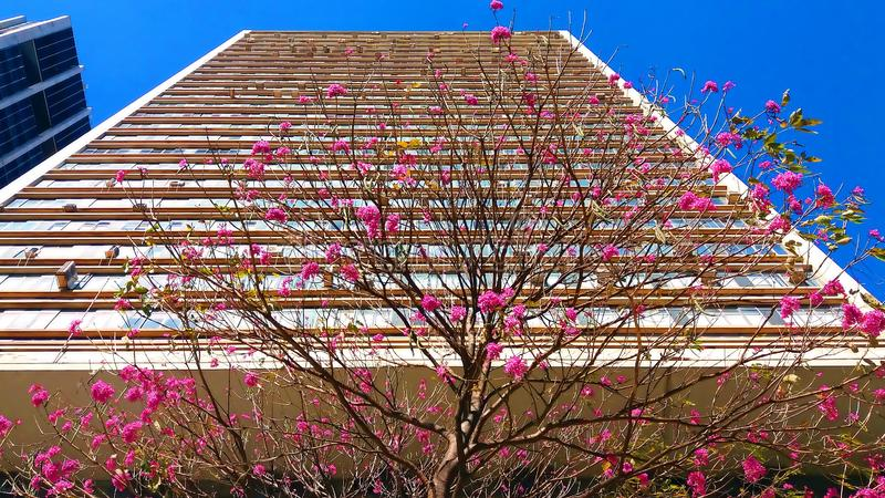 Baum Ipê Rosa vor einem Gebäude lizenzfreies stockfoto