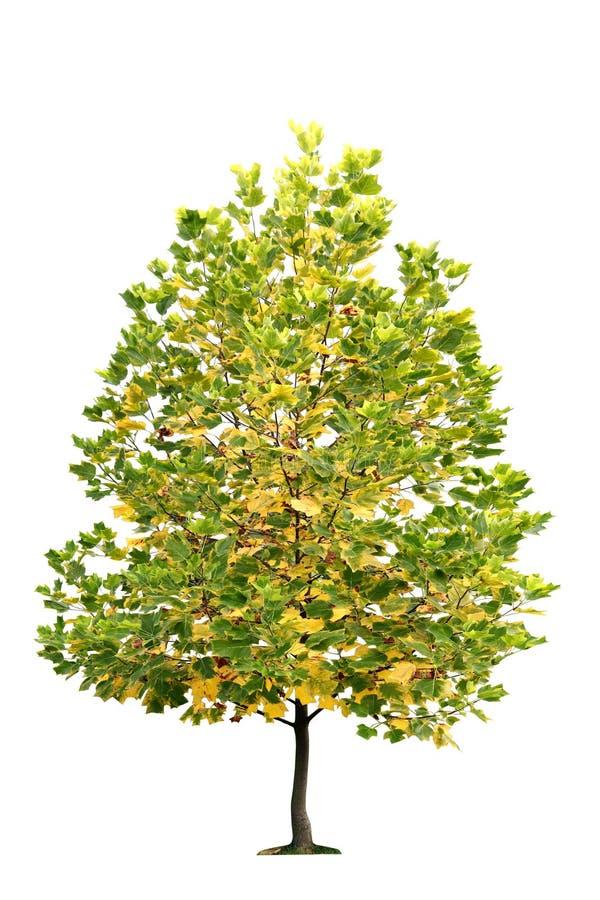 Baum lokalisiert auf einem weißen Hintergrund stockbilder