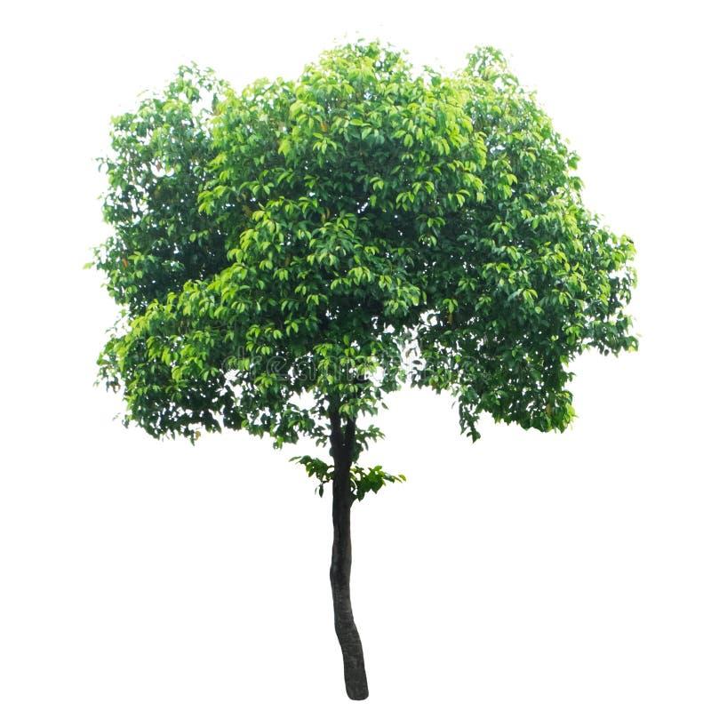 Baum lokalisiert auf einem weißen Hintergrund stockfotos