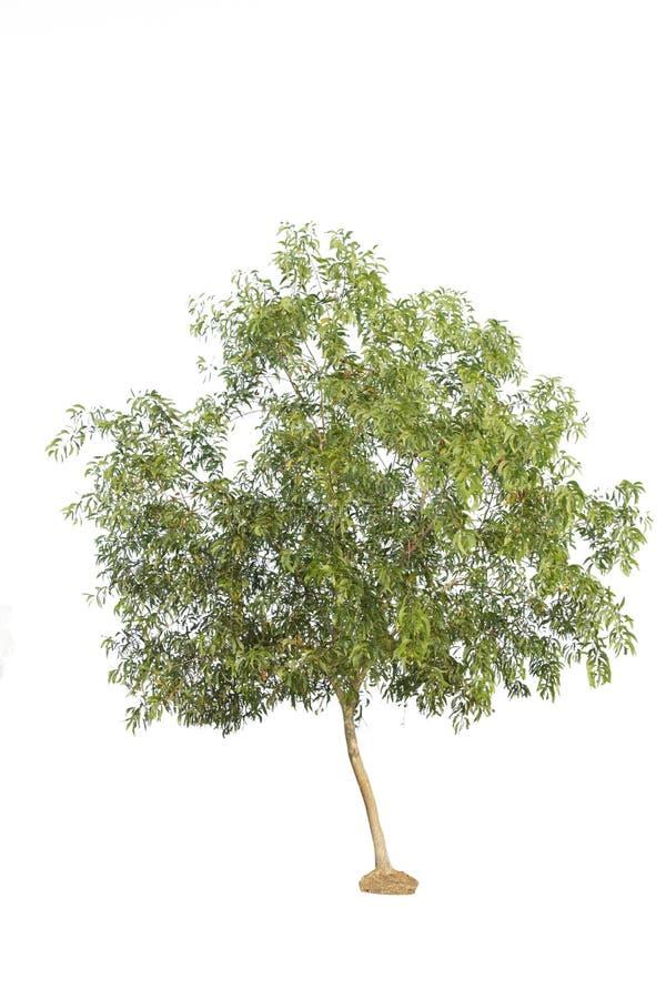 Baum lokalisiert gegen a über weißem Hintergrund stockfotografie