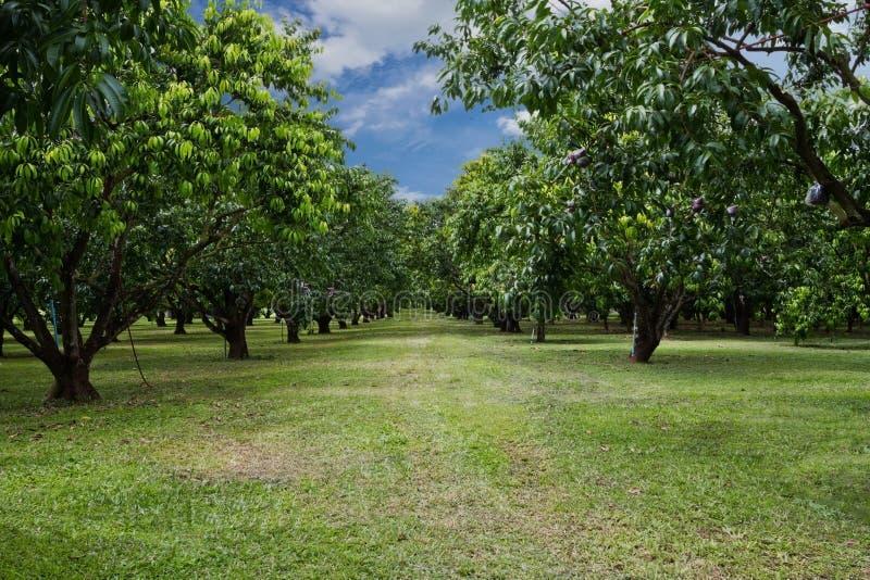 Baum Mayongchid Maprang Marian Plum stockfotografie