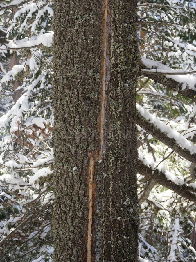 Baum mit einer Narbe, die einem Beleuchtungsstreik folgt lizenzfreies stockfoto