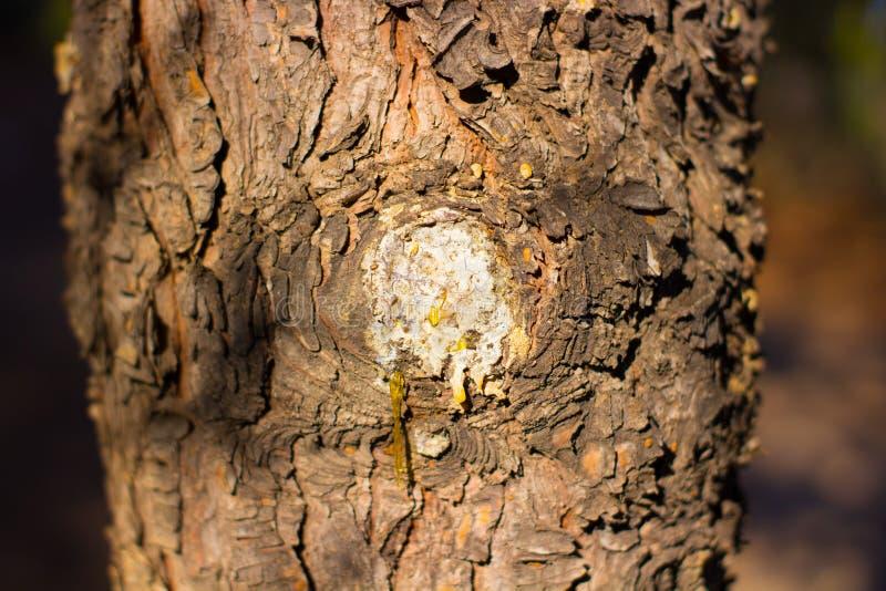 Baum mit flüssigem nahem hohem des Harzes lizenzfreies stockbild