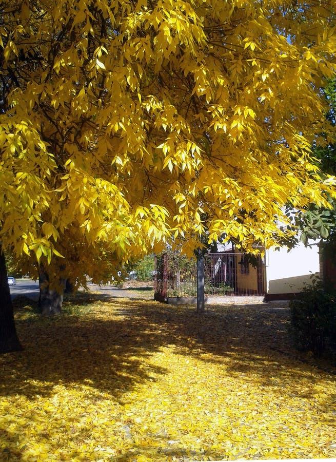 gelbe bl tter auf baum stockfoto bild von baumstamm blau 3622422