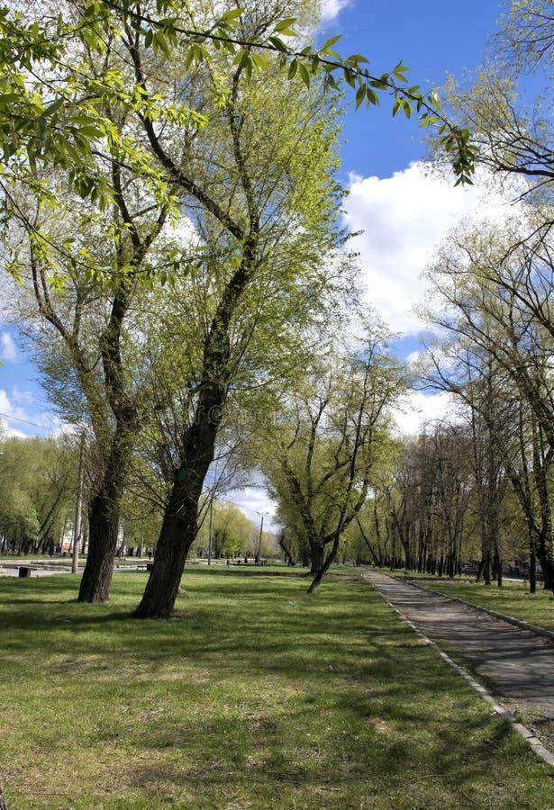 Baum mit jungen Grünblättern im Vorfrühling stockfotografie