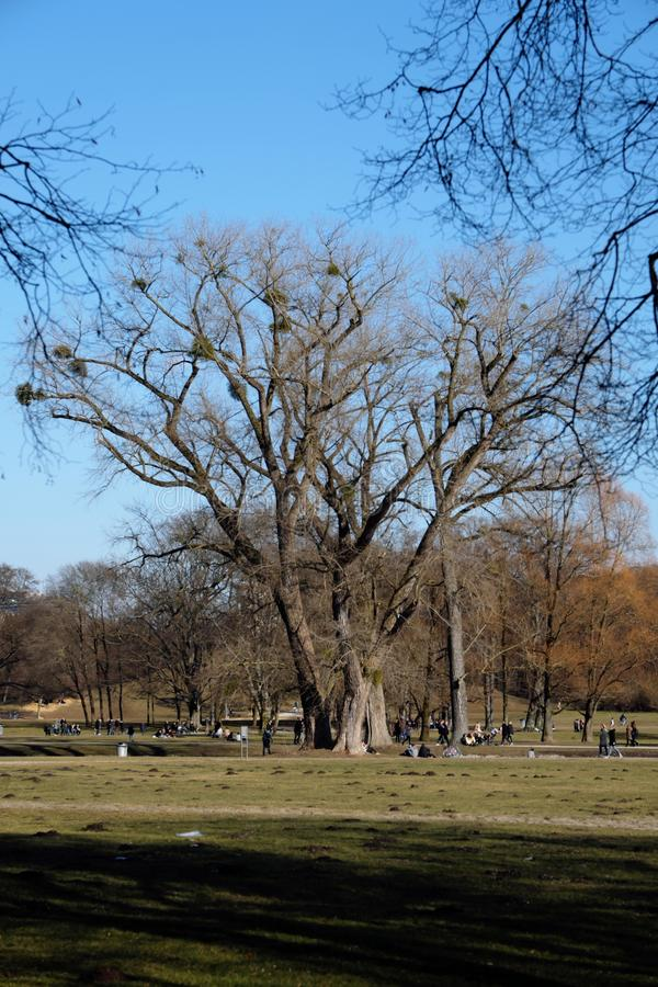 Baum mit Mistelzweig im englischen Garten lizenzfreie stockbilder