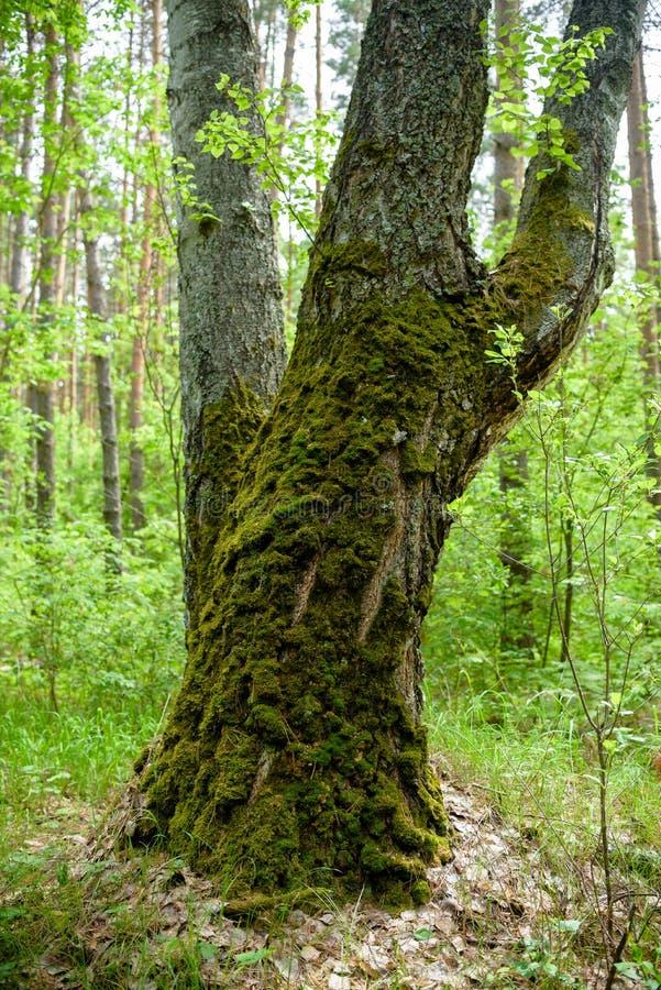 Baum mit Moos auf Wurzeln in einem grünen Wald oder Moos auf Baumstamm Baumrinde mit grünem Moos stockfoto