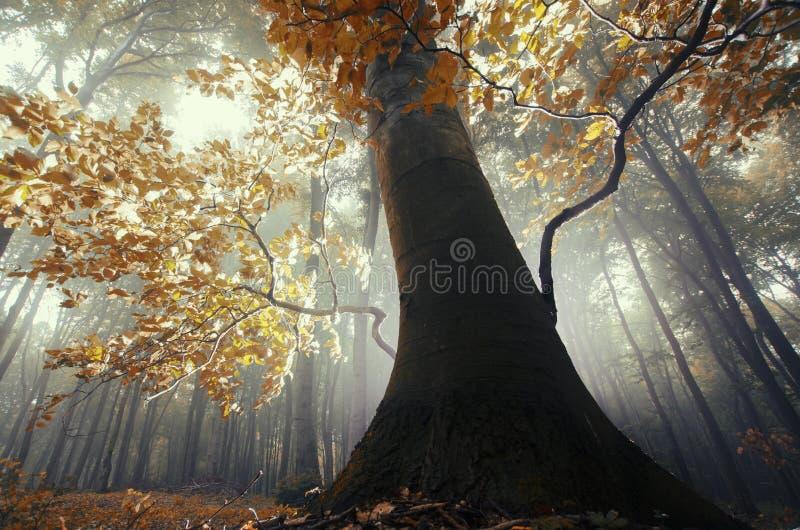 Baum mit Orange verlässt in verzaubertem magischem Wald mit Nebel stockbilder