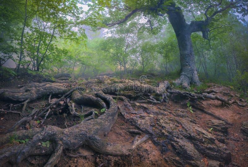 Baum mit riesigen Wurzeln im nebelhaften Wald stockfotos