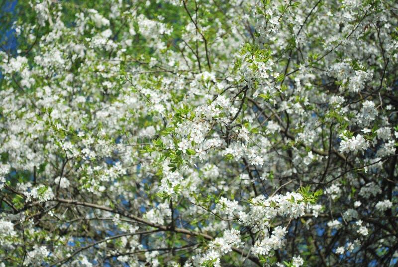 Baum mit wei?er Bl?te im Park Fr?hlingszeit? Rosenbl?tter, nat?rlicher Hintergrund wei?e Blumen im Baum stockfoto