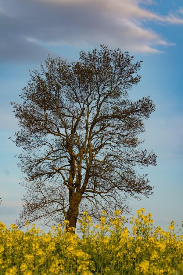 Baum nahe einem gelben Rapssamenfeld stockbilder
