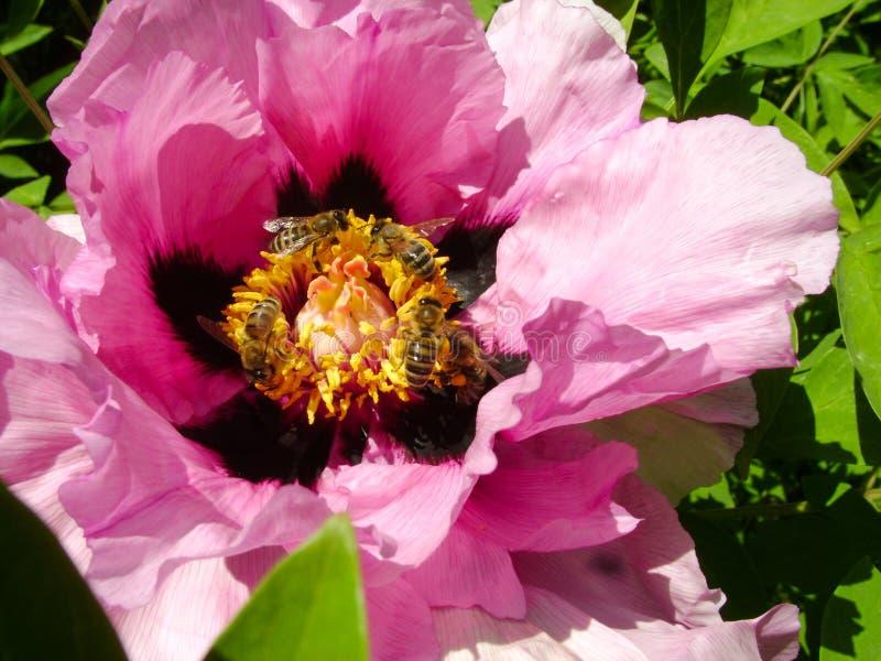 Baum-Pfingstrose Im Blumenabschluß Oben Rosa ...