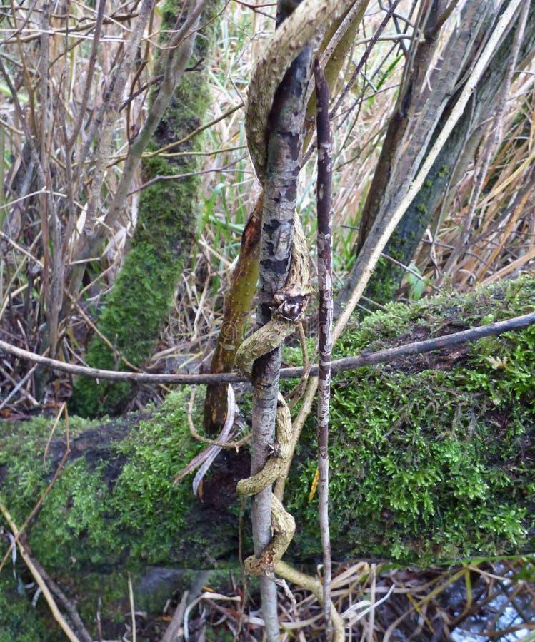 Baum-Rebe - Großbritannien stockfotos