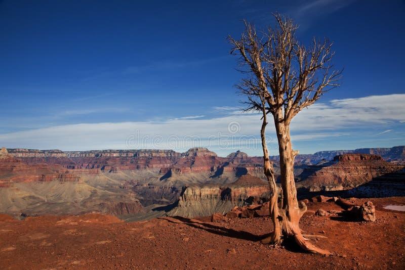 Baum, Südkante, Nationalpark Grand Canyon s, Arizona lizenzfreies stockbild