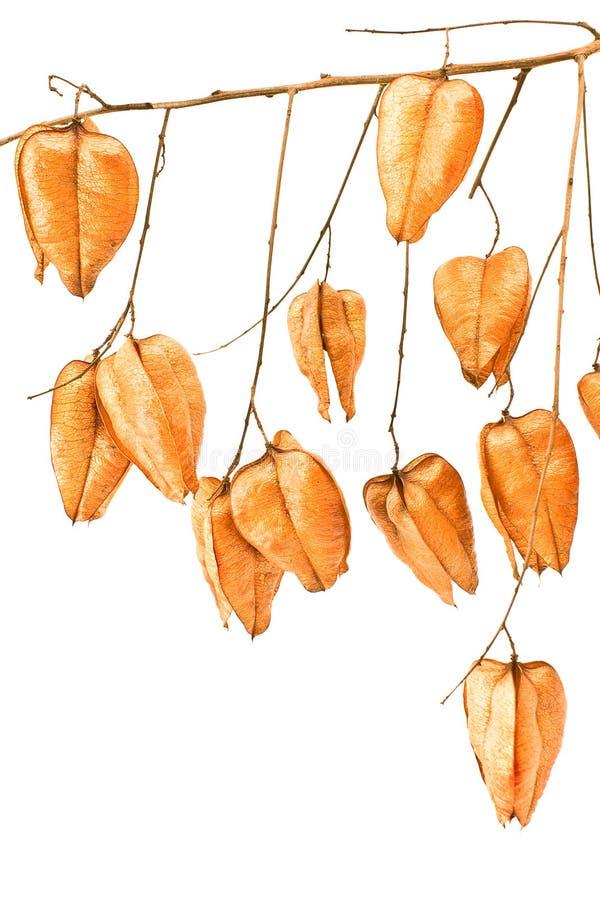 Baum-Samenhülsen des goldenen Regens (koelreuteria paniculata) lizenzfreies stockfoto