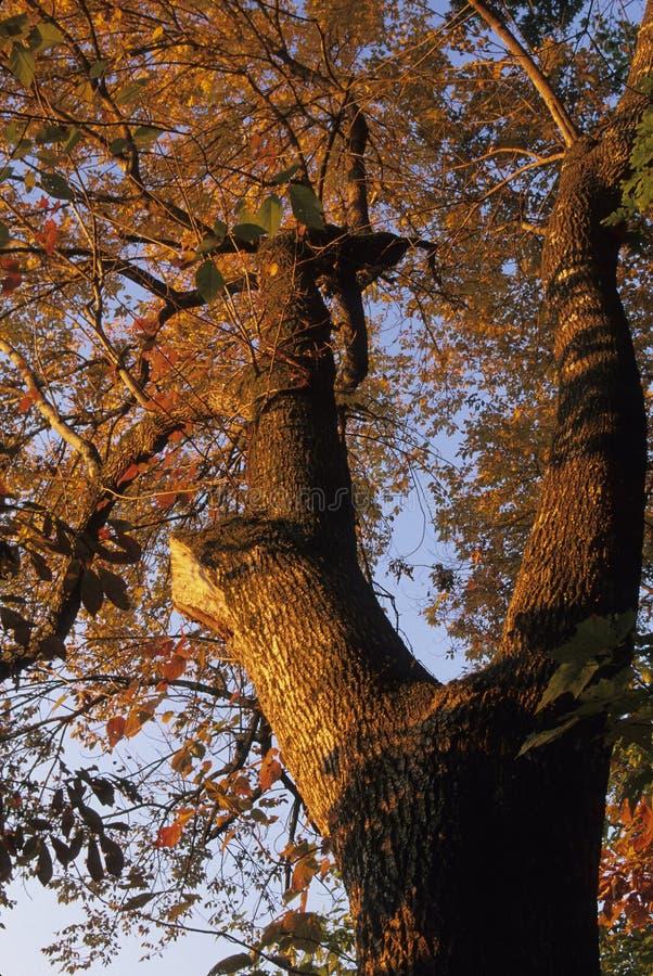 Download Baum-@ Sonnenaufgang stockfoto. Bild von leuchte, vereinigt - 45226