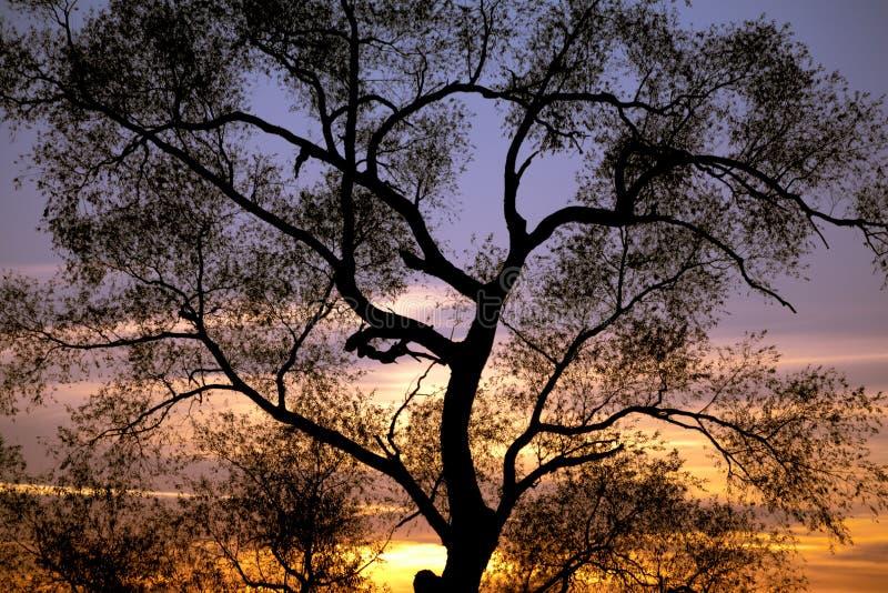 Baum-Sonnenuntergang-Schattenbilder lizenzfreies stockbild