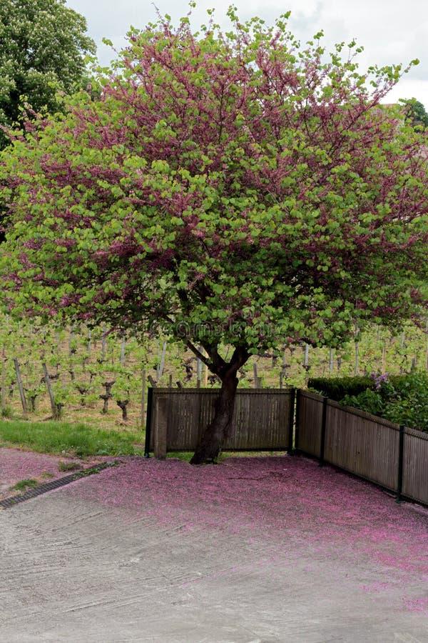 Baum in St. Emilion lizenzfreies stockbild