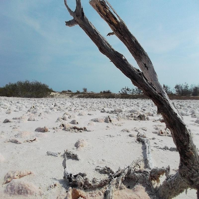 Baum stirbt im trockenen Salz stockfoto
