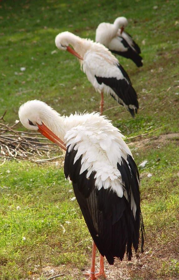 Download Baum-Storch stockfoto. Bild von vögel, störche, reinigung - 27524
