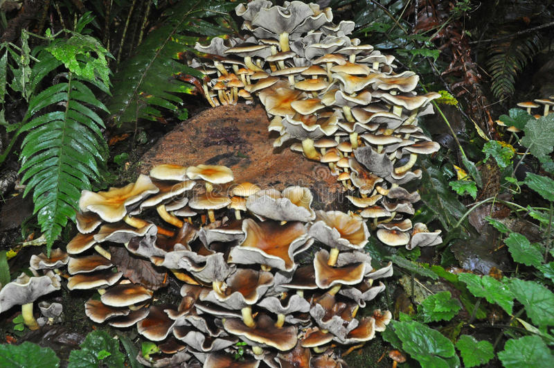 Baum-Stumpf geschmückt mit einer Kolonie von Schwefel-Büschel-Pilzen lizenzfreies stockbild