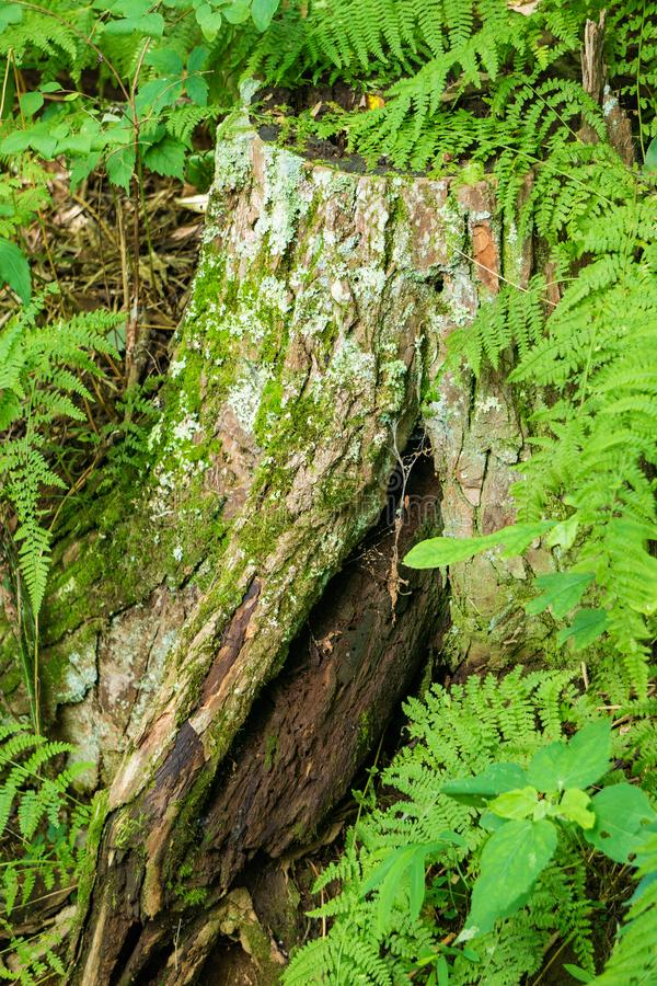 Baum-Stumpf und Eagle Ferns stockfoto