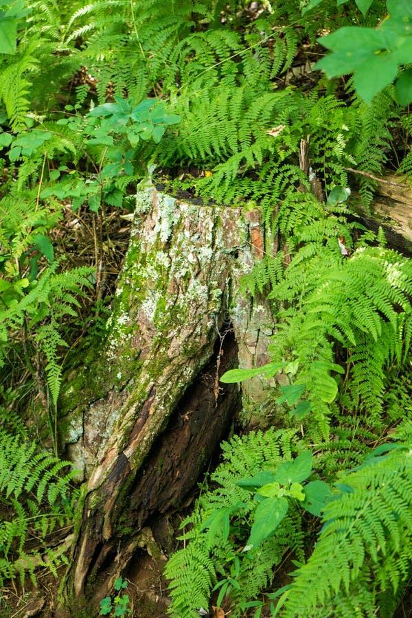 Baum-Stumpf und Eagle Ferns - 2 lizenzfreie stockbilder