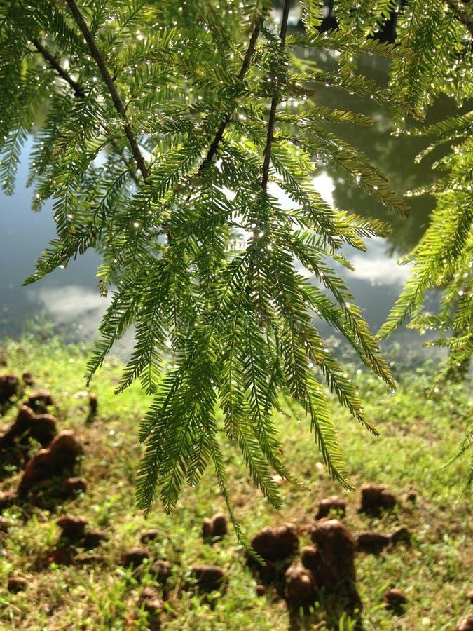 Baum Taxodium Distichum (kahle Zypresse) mit Regen-Tropfen auf den Niederlassungen, die nahe bei Teich während des Sonnenaufgangs stockbilder