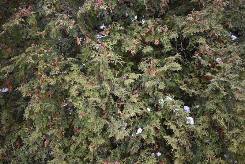 Baum Thuja stockbilder