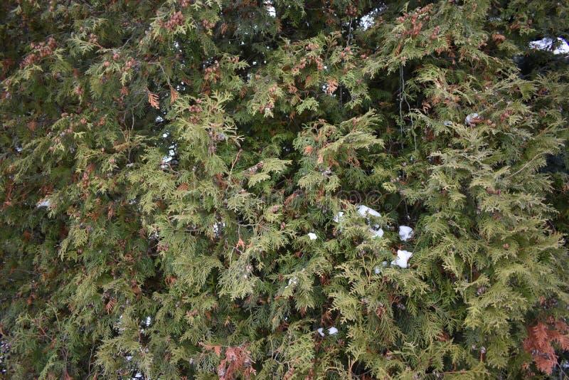 Baum Thuja lizenzfreie stockfotos