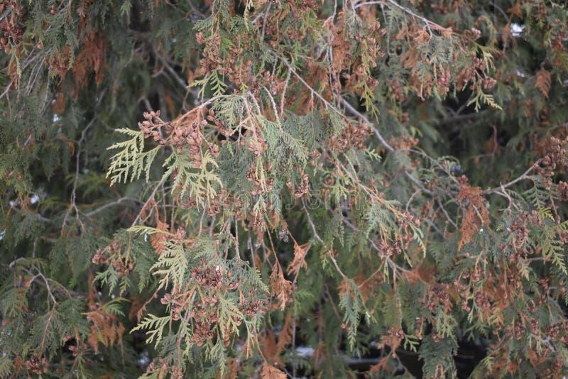 Baum Thuja stockfotos