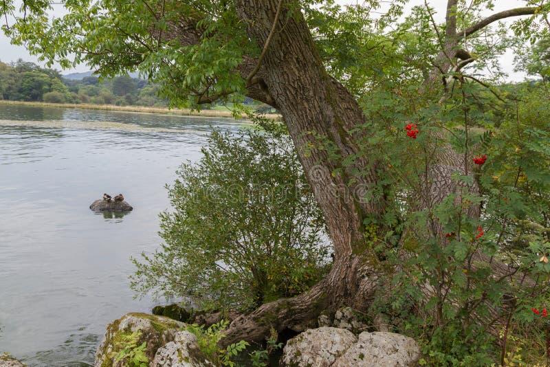 Baum und Enten auf See WIndermere stützen, Ambleside, Cumbria unter lizenzfreie stockbilder