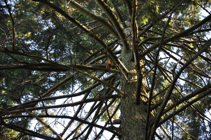 Baum-und Hörnchen3 stockfoto
