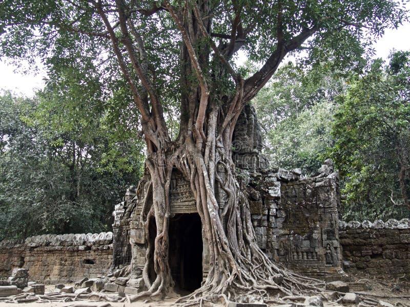 Baum und Tür, Siem Reap, Kambodscha stockbild