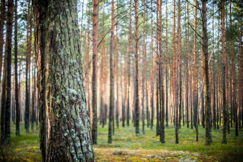 Baum- und Unschärfewald lizenzfreies stockbild
