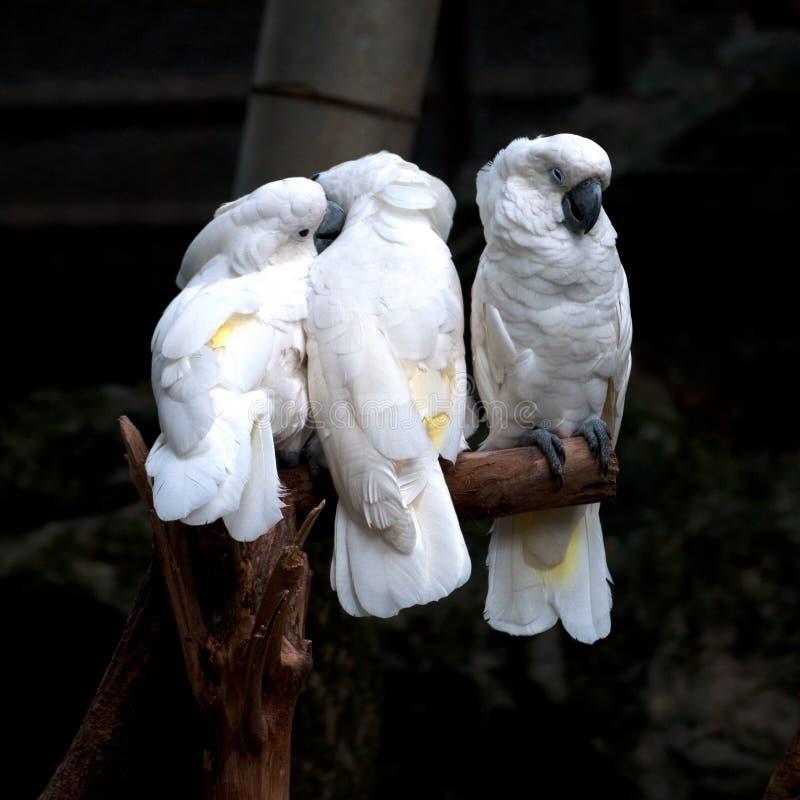 Baum von Cockatoos lizenzfreie stockfotografie